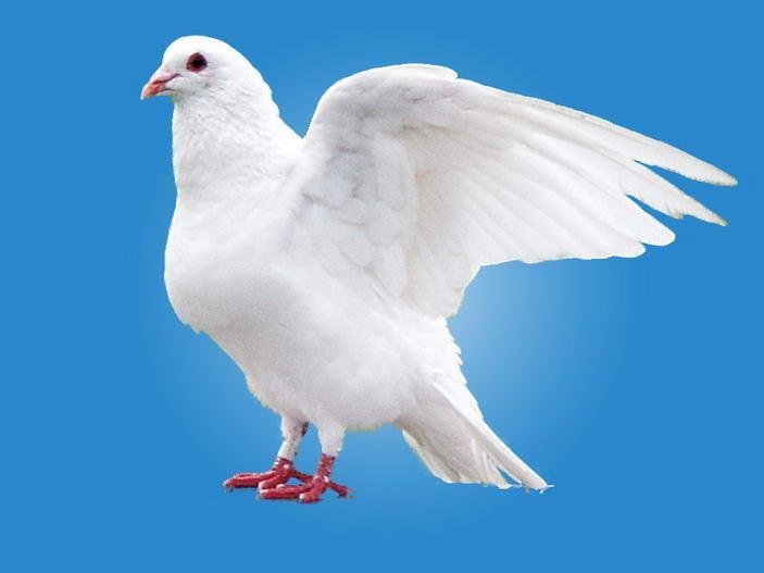 鸟类鸽鸽子鸟新区703_527丹徒动物阿德宝狮子头图片