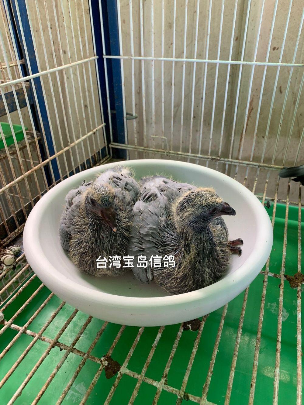 石膏碗巢盆 鸟巢 台湾鸽子碗窝 繁殖窝 孵蛋盆