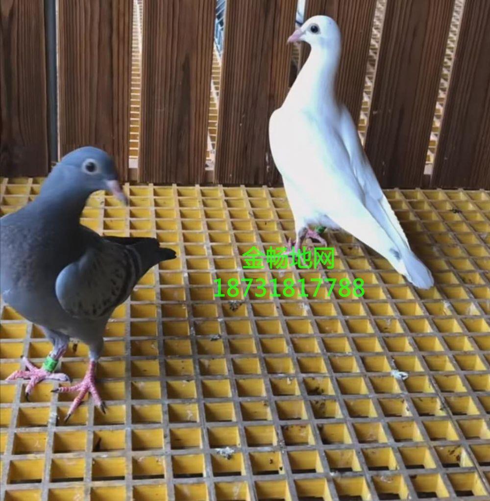 鸽棚建造玻璃钢地网漏粪板