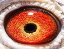 超级种鸽眼睛