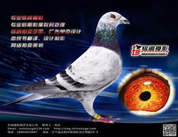 信鸽商业摄影