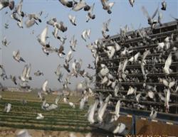 不锈钢集鸽笼(6000羽/分体)