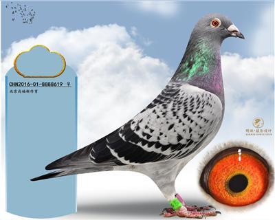 明珠赛鸽摄影