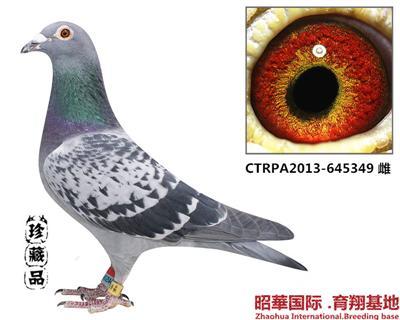 帝王-349 雌