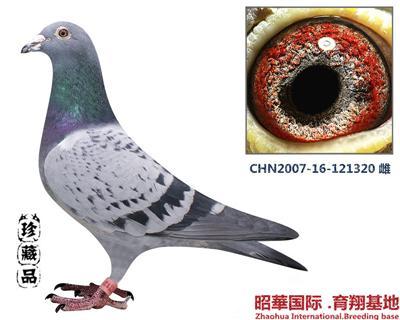 昭華-320 雌