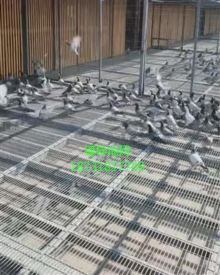 信鸽公棚热镀锌地网