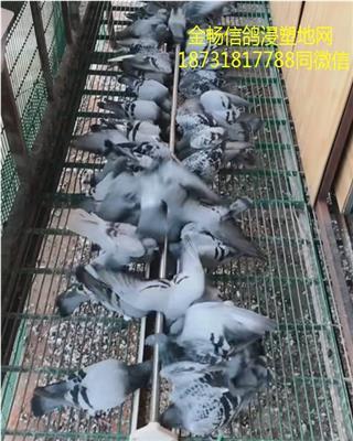 鸽棚绿色包塑地网漏粪板