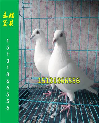 信鸽展示笼