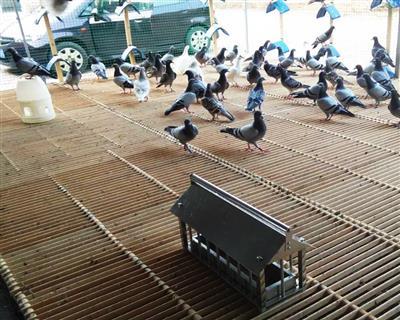 津羽王鸽子赛鸽塑料地网竹木地网地拍子网格
