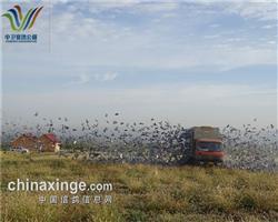 宁夏中卫赛鸽公棚9月18日十五公里训放视频、图片