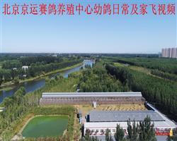 北京京运赛鸽养殖中心幼鸽日常及家飞视频