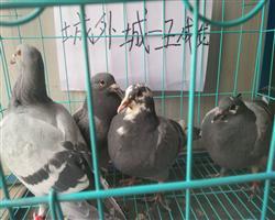 开封盛祥赛鸽寄养中心2018年秋第四届规程